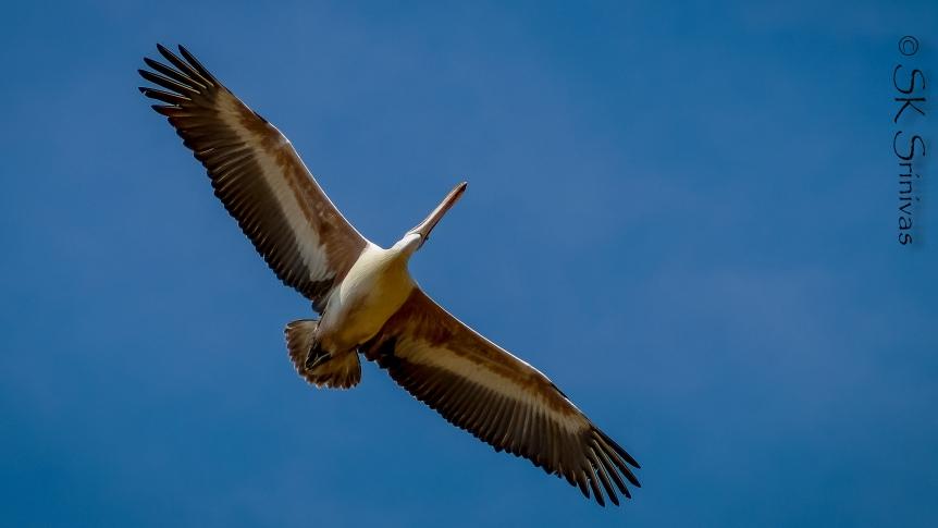 pelican-1